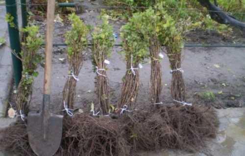 Благодаря усиленному росту и большим объемам зеленой массы горчицу используют в качестве заграждения от потоков воздуха в местностях, где дуют сильные ветра